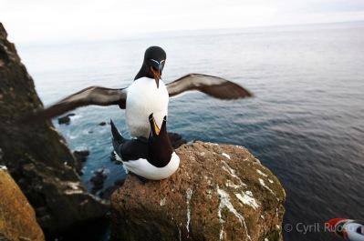 Petits Pingouins
